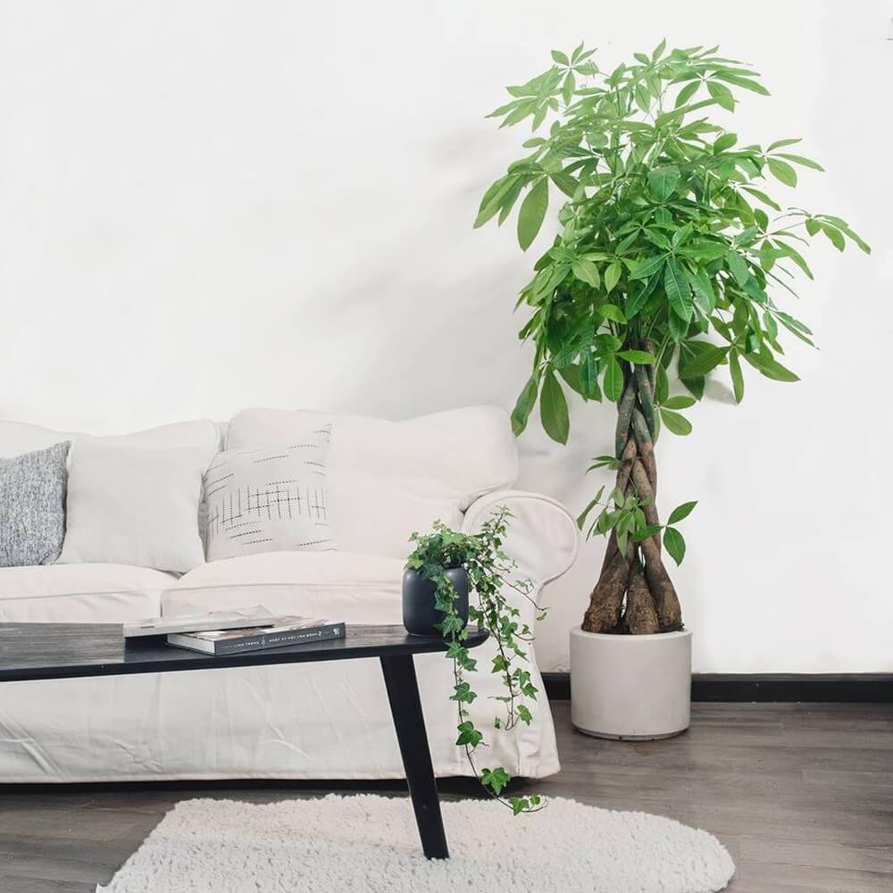 5 loại cây phong thủy phù hợp đặt trong nhà