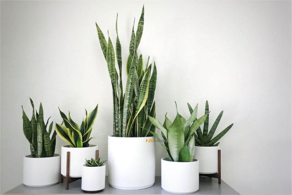 Các kiểu dáng cây lưỡi hổ sử dụng trong trang trí nội thất trong nhà