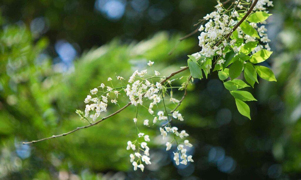 Lá cây sưa trắng mỏng, hoa nở thành từng chùm, cánh hoa lớn màu trắng. (Ảnh sưu tầm)