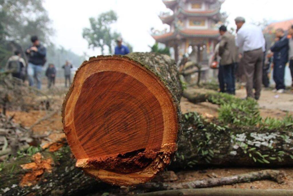 Cây gỗ sưa cổ thụ, trên 30 năm tuổi, đường kính thân cây trên 50cm sẽ có giá bán cao hơn. (Ảnh sưu tầm)