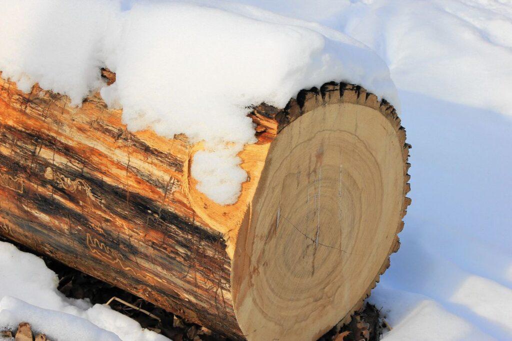 Gỗ tần bì đặc trưng bởi màu vàng nhạt, nhiều dát gỗ có màu gần như trắng. (Ảnh sưu tầm)