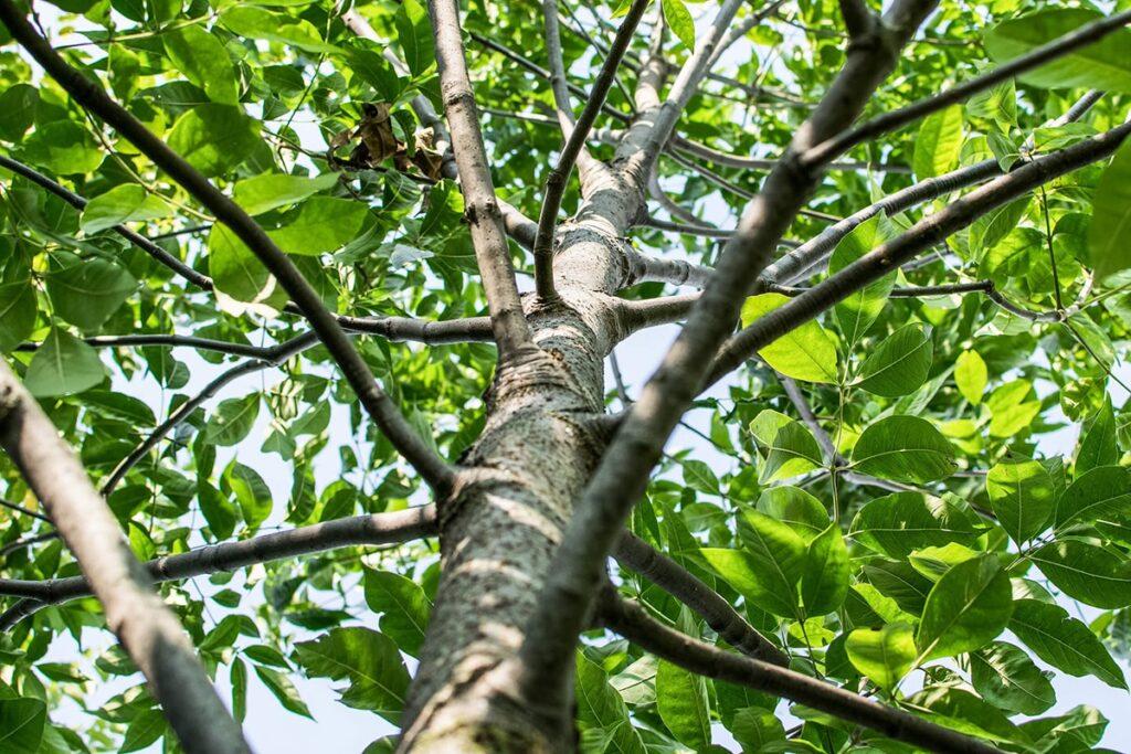 Cây tần bì bí ngô trưởng thành có thể đạt chiều cao đến 20m. (Ảnh sưu tầm)